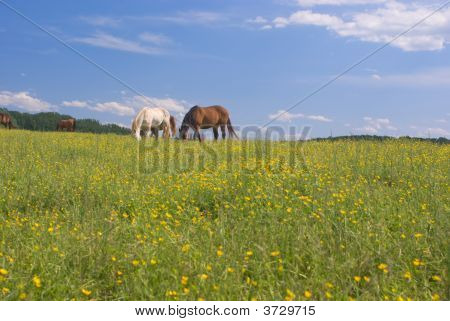 Grazing Horses In Field Of Buttercups