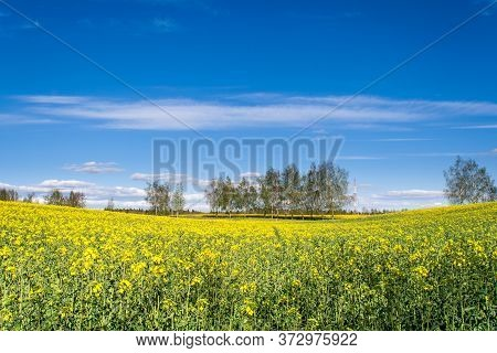 A Beautiful Rape Field With The Trees In The Middle In The Country With A Blue Sky With Clouds. Magi