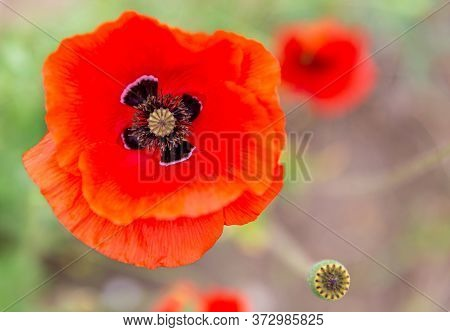 Close Up Of A Common Poppy With Its Vivid Red Petals, Its Sepals With Black Spots At Their Base And