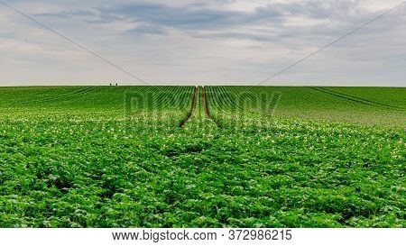 Green Field With A Potato Crop With Its Small White Flowers With Two Defined Trails Between The Crop