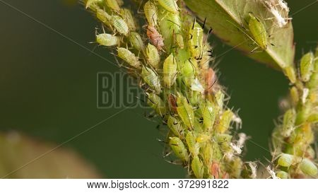 Aphids On Rose Stems, Close-up, Selective Focus.