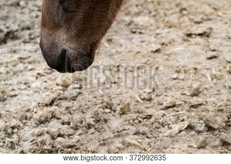 The Snout Of A Liver Chesnut Colt Sniffing The Ground