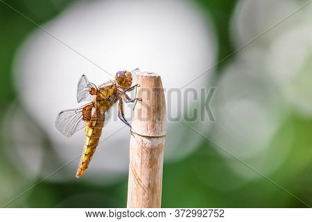 Broad Bodied Chaser Or Libellula Depressa With A Green White Background