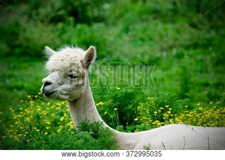 Portrait Of A Shaved Alpaca (vicugna Pacos) Laying Down On The Grass Eating Surrounded By Flowers