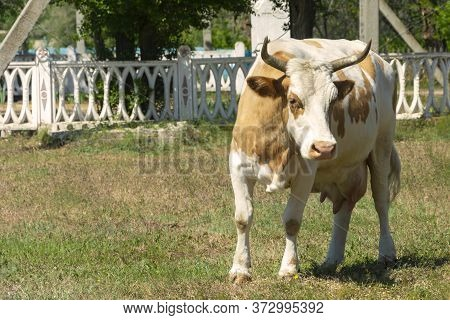 A Large White Cow With Horns Walks In Front Of The Camera. Portet Of A Large Cow Close-up. Cow In Th
