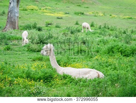 Three Shaved Alpacas (vicugna Pacos) Laying Down On The Grass, Or Eating, Surrounded By Flowers
