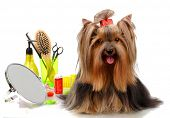 Beautiful yorkshire terrier with grooming items isolated on white poster