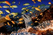 Busy reef scene with skittish fish and eel emerging from its hiding place poster