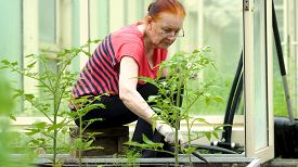 The Farmer Weeding The Seedlings Of Tomato. Care Of Seedlings In The Garden. Agriculture In The Gree