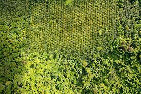 Oil palm trees plantation at the edge of tropical rainforest. Aerial photo , showing the environmental damage caused by the palm oil industry to rain forest jungle