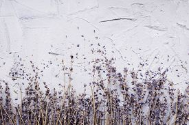 Dried Lavender With Fallen Petals On A Gray Concrete Background.