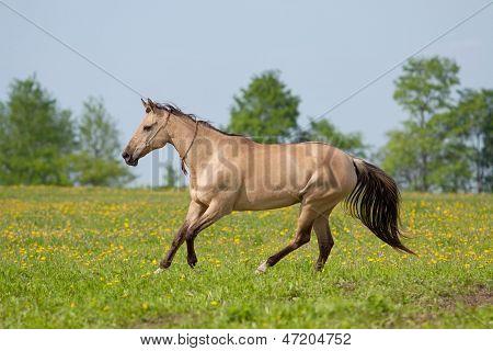 Akhal Teke mare galloping in the meadow poster
