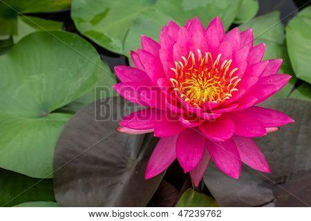 Beautiful Pink Waterlily