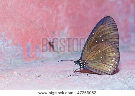 Long Branded Blue Crow Butterfly
