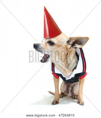 a cute chihuahua in a tiny shirt with a birthday hat on poster