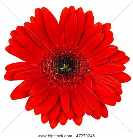 Gerber flower isolated on white