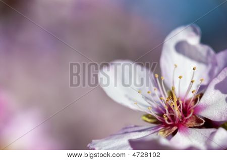 Spring Background With Pink Almond Flower