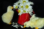 Ducklings with spring daisy bouquet in red can. poster