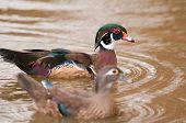 This colourful wood duck was photographed at a wetland reserve in the UK. poster