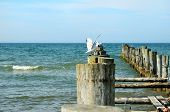 seagull on wooden groynes in the baltic sea poster
