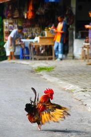 Cockarel showing-off in Java, Indonesia