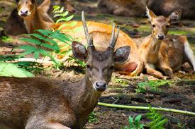 Brown deer family resting in the forest