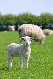 Lamb Looking At You