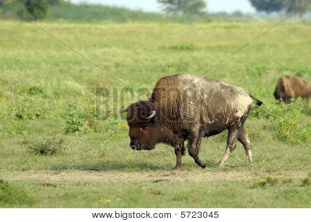 Bull Buffalo At Dust Wallow