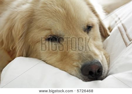This is an image of a Golden Retriever resting on a soft comforter. poster