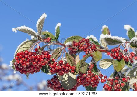 Rowan Berries Covered With Snow In Winter