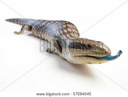 blue tongue lizard