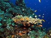 A small table acropora coral teaming with orange anthias and blue-green damsels poster