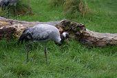 A Large Wild Strolling Eurasian Crane - Grus poster