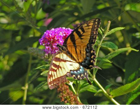 Beautiful butterfly on a flower blossom of the fragrant Butterfly Bush poster