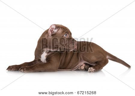 american pit bull terrier puppy with cropped ears poster