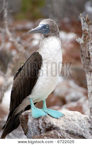 Blue-footed Booby bird sitting on the stone. Seymour Island, Galapagos. poster