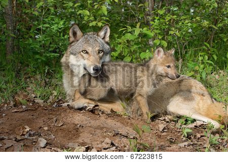 mother wolf&pup by a den ste woods poster