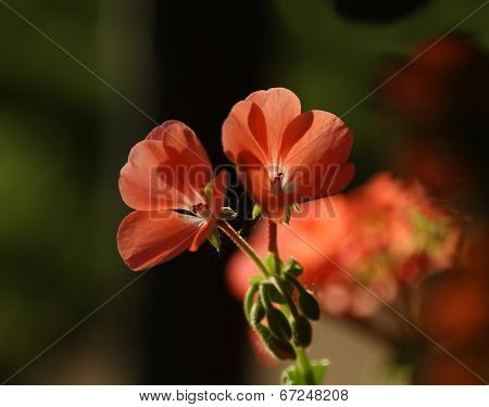 Peachy Geranium Macro