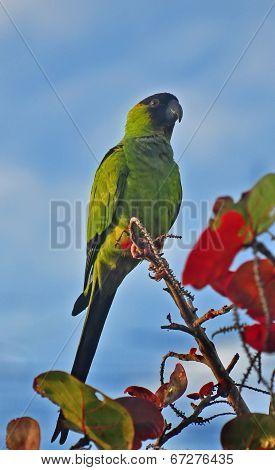 A Quaker or Monk parrot