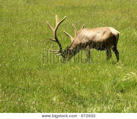 Elk grazing in field near Pagosa Springs, Colorado poster