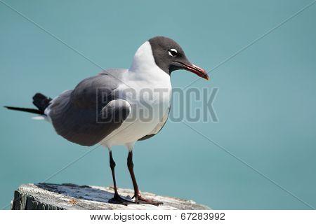 Laughing Gull Posing