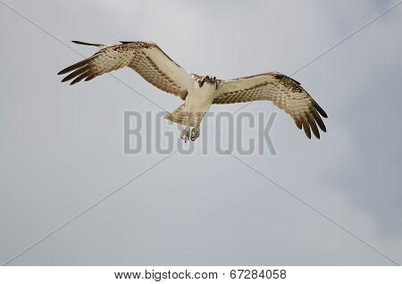 Osprey Flying In Air