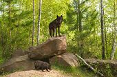 Black Wolf (Canis lupus) Stands on Top of Den - pup beneath - captive animal poster