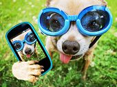 a cute chihuahua wearing goggles in the grass with his tongue out poster
