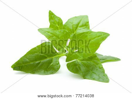 Tetragonia tetragonioides New Zealand spinach isolated on white poster
