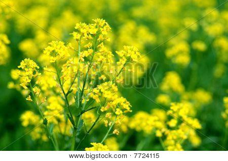 Yellow Wild Flowers (bittercress) In Macroview.