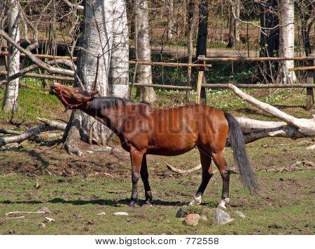 A squealing horse