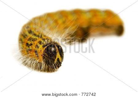 Hairy Catterpillar