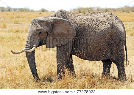 Elephant (Loxodonta africana) on the Masai Mara National Reserve safari in southwestern Kenya.