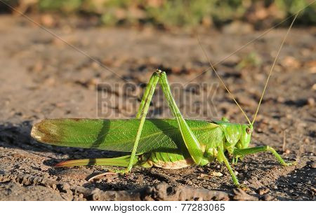 Long-horned Grasshoppers
